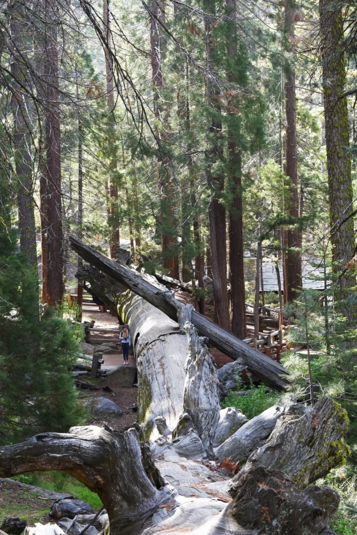 22 Narodny park Sequoia